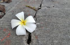White flower falling on cracked road Royalty Free Stock Image