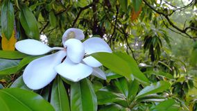 White flower of ficus elastica tree. Close-up. stock footage
