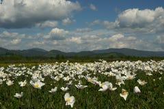 White flower field Stock Image