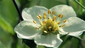White flower stock video