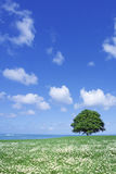 White flower field and lone tree Royalty Free Stock Photo