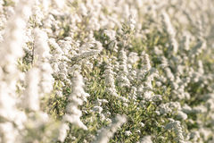 White flower field at springtime Stock Images