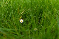 White flower in the field. Wild flower field meadow grass leaves colours green yellow spring beautiful blur bohen details close close-up            white royalty free stock images
