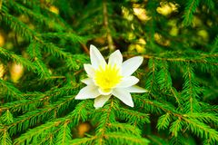White flower on fir branch royalty free stock photos