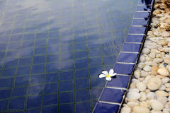 White flower floating in swimming pool Stock Images