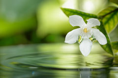 White flower floating on water with droplet in garden. Closeup white flower floating on water with droplet in garden royalty free stock photography