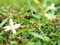 White flower on the floor. Small white flower on the grass field Stock Images