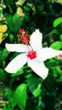 White flower. Focusing on a flower with white petals with blur green leaves in the background Stock Image
