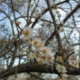 White flower,sakura flower Stock Image