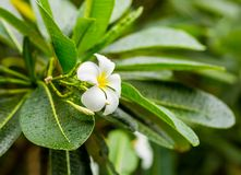 White flower frangipani Plumeria, tropical plant with long green leaves covered. By raindrops Stock Image