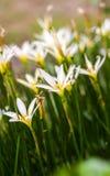White flower. Fresh blooming white flowers in garden Stock Image
