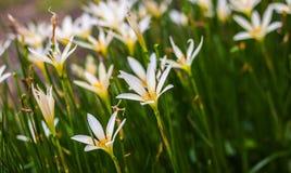 White flower. Fresh blooming white flowers in garden Royalty Free Stock Image