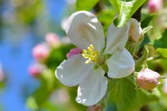 White flower of the fruit tree apple is dissolved, close up. White flower of fruit tree apple is dissolved, close up Stock Images
