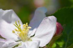 White flower of the fruit tree apple is dissolved, close up. White flower of  fruit tree apple is dissolved, close up Stock Photography