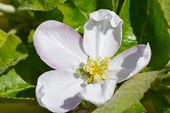 White flower of the fruit tree apple is dissolved, close up. White flower of  fruit tree apple is dissolved, close up Stock Photos