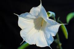 White Flower. Flower in garden Stock Photography