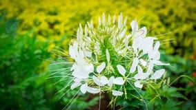 White Spider Flower Stock Photo