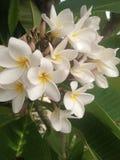 White flower Stock Images