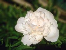White flower. White garden flower Stock Image