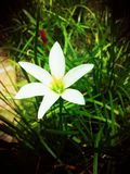 White flower in the garden Royalty Free Stock Photo