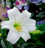 White Flower. A white garden flower blooming in sunlight Royalty Free Stock Photo