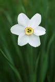 White flower in the garden. Stock Photography