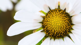 White flower of the garden Daisy Royalty Free Stock Photos