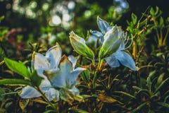 White flower in garden. White flower in focus Royalty Free Stock Images
