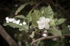 White flower in garden. White flower and leaf in garden Stock Photography