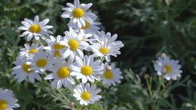 White flower in flower garden at sunny summer or spring day White daisy flower. stock video footage