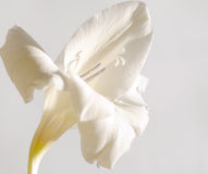 The white flower of gladiolus #1 Royalty Free Stock Photo