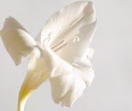 The white flower of gladiolus #1. Alone wonderful white flower of gladiolus on light gray background Royalty Free Stock Photo