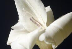 The white flower of gladiolus #2. Alone wonderful white flower of gladiolus on black background Stock Photos