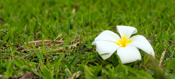 White flower on grass blur background Royalty Free Stock Images