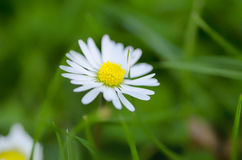 White flower on grass close up. Small white flower with yellow center contains carpels and stamens bloomed on grass to let the feeling of spring freshness. The Stock Photo