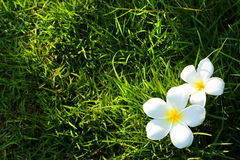 White flower on grass field Stock Photos