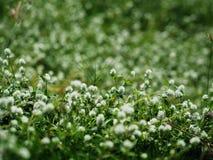 White flower grass. White flower green graas in garden Stock Photography