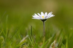 White flower. Flower in grass with narrow depth of Stock Images