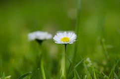 White flower on grass Royalty Free Stock Images