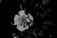 White flower grayscale image Royalty Free Stock Image