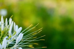 White flower on a green blurred background Royalty Free Stock Images