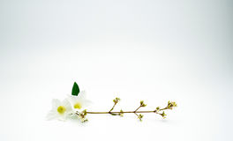 White flower and green leaf with branch on white background with copy space. Stock Photography
