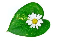 White flower with green leaf isolated on white Stock Photo