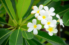White flower with green leaf Stock Images