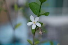 White Flower Green Leaves with Branch Stock Image