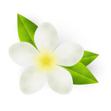 White flower with green leaves Royalty Free Stock Photo
