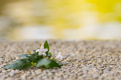 White flower. With green leaves on sand and stones Stock Photo