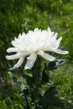 White flower with green leaves and stalk on grass royalty free stock photos