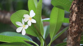 White flower with green leaves Royalty Free Stock Images