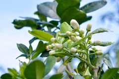 White Flower of Green Pomelo. A lot flower off pomelo but after have only one Pomelo fruit Royalty Free Stock Photography